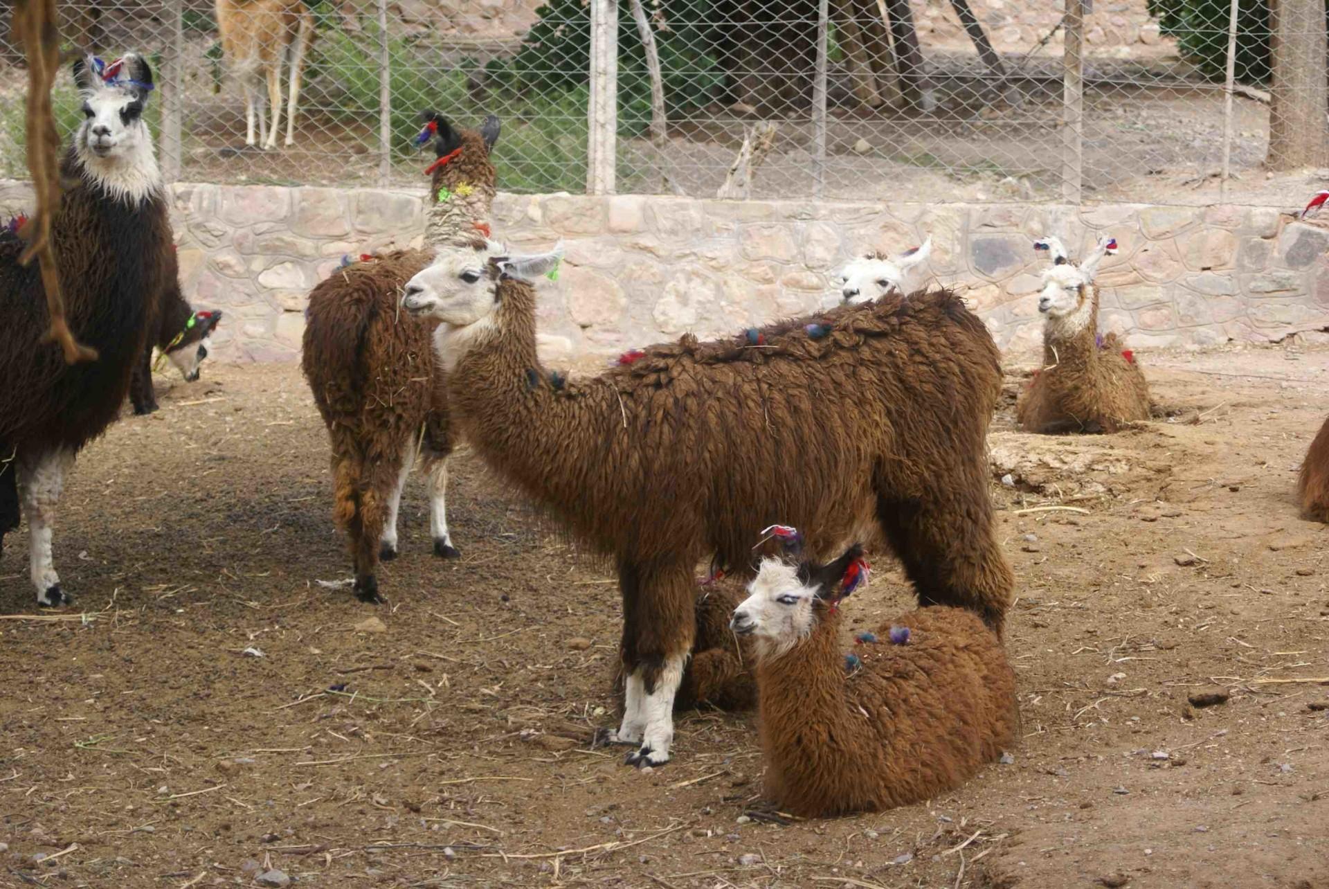 Lamas Nord Argentine