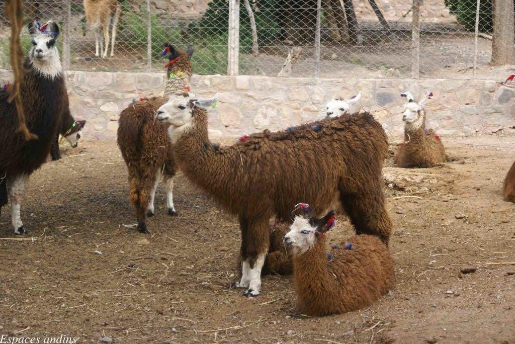 Les Lamas Du Nord De L'Argentine
