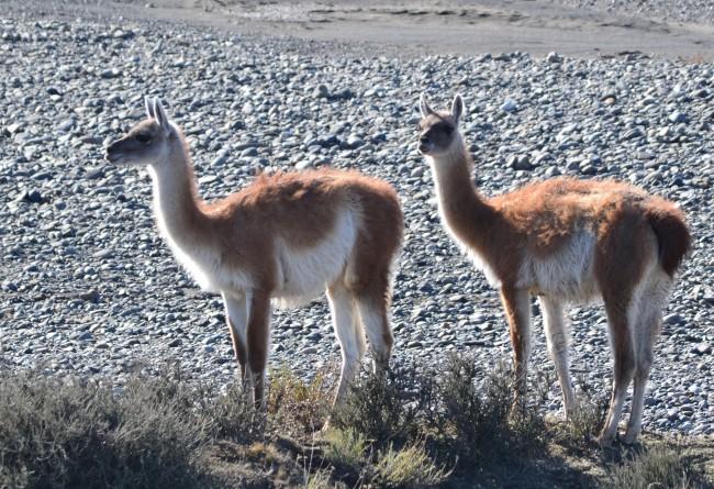 Les Guanacos, Que Vous Pourrez Voir En Patagonie Chilienne