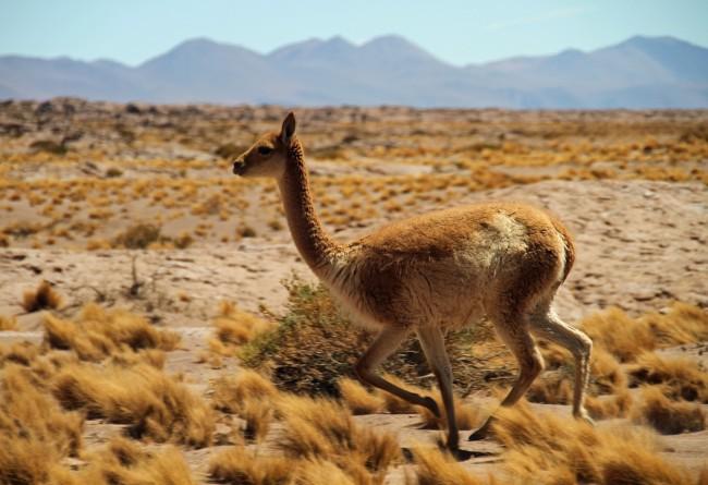 La Faune Désert Atacama Au Nord Du Chili