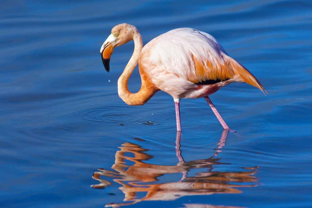 American Flamingo Feeding In The Early Morning, Floreana Island, Galapagos