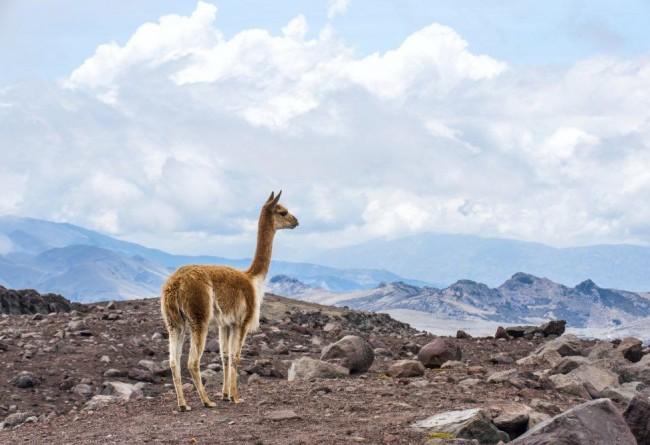 SLIDE 4 Vigogne Andes Equateur