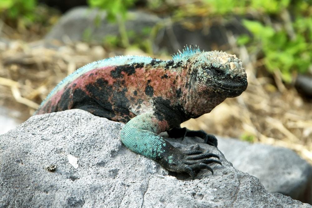 Galapagos Marine Iguana (Amblyrhynchus Cristatus) In La Espanola Island, Galapagos, Ecuador