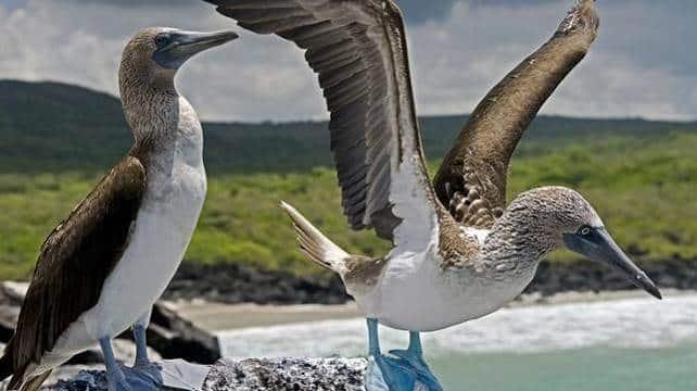Fous à pattes bleus, aux Iles Galapagos