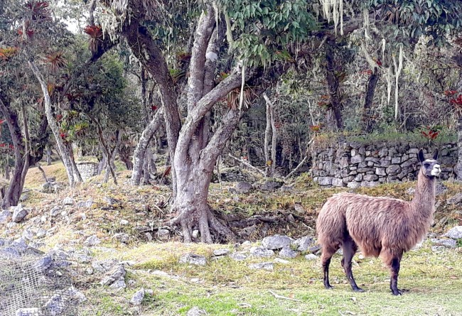 Lama Nord Du Perou à Kuelap