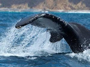 Extension Machalilla, Baleines Et île De La Plata