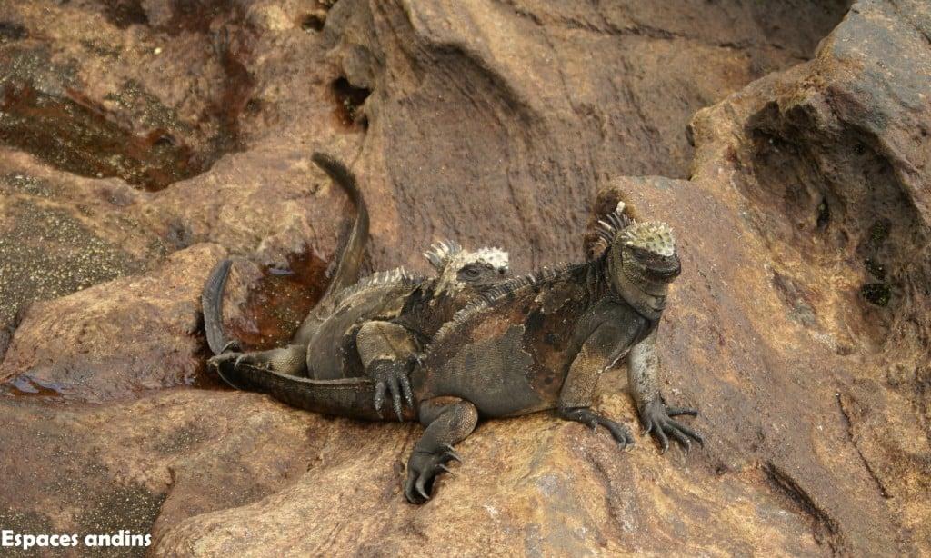 Iguanes - Iles Galapagos Photo : Espaces andins