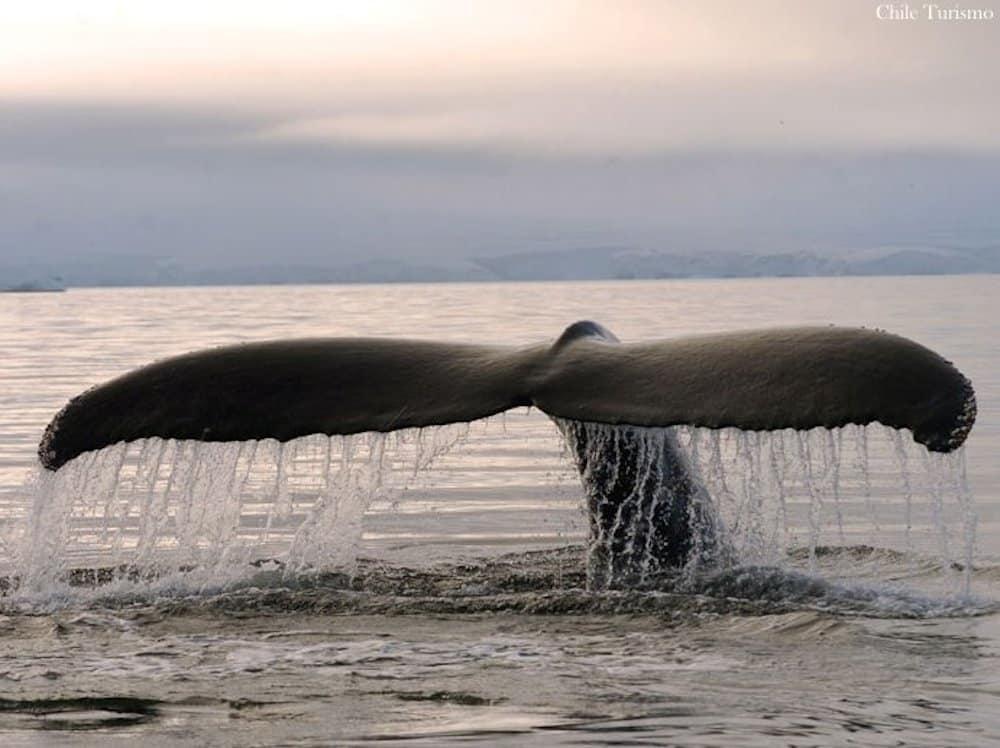 Baleines dans le détroit de Magellan