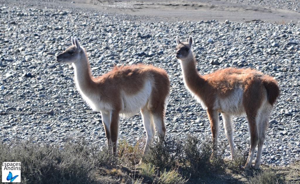 Guanacos dans le Parc national Torres del Paine au Chili / Photo : Espaces Andins