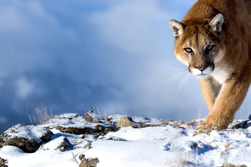 En Patagonie, le puma, grand prédateur Photo : blog Australis