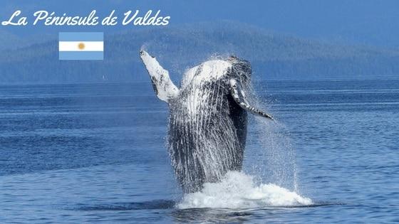 Phoque De La Péninsule De Valdès, Patagonie Argentine