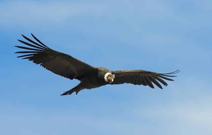 Condor andin  / Photo : Pinterest