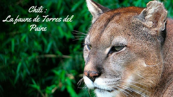 Puma, Parc Torres Del Paine, Chili