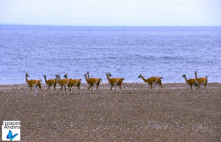 Les guanacos de la Péninsule de Valdes