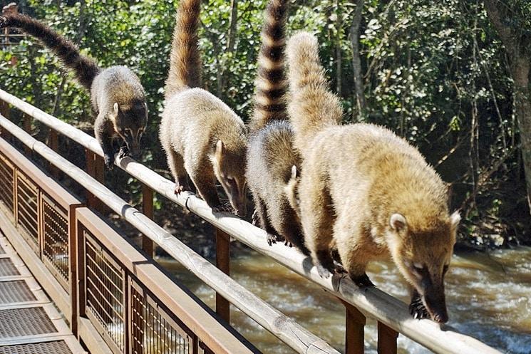 Les coatis d'Iguazu