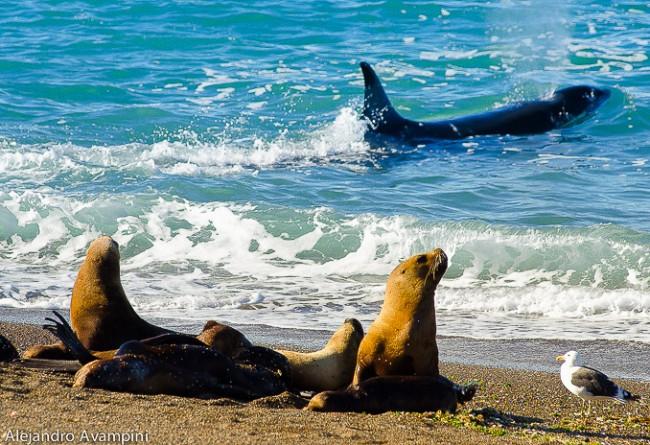 Orques De La Péninsule De Valdès, Patagonie Argentine