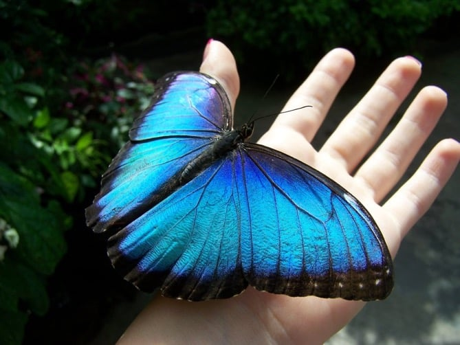 Papillon d'Iguazu