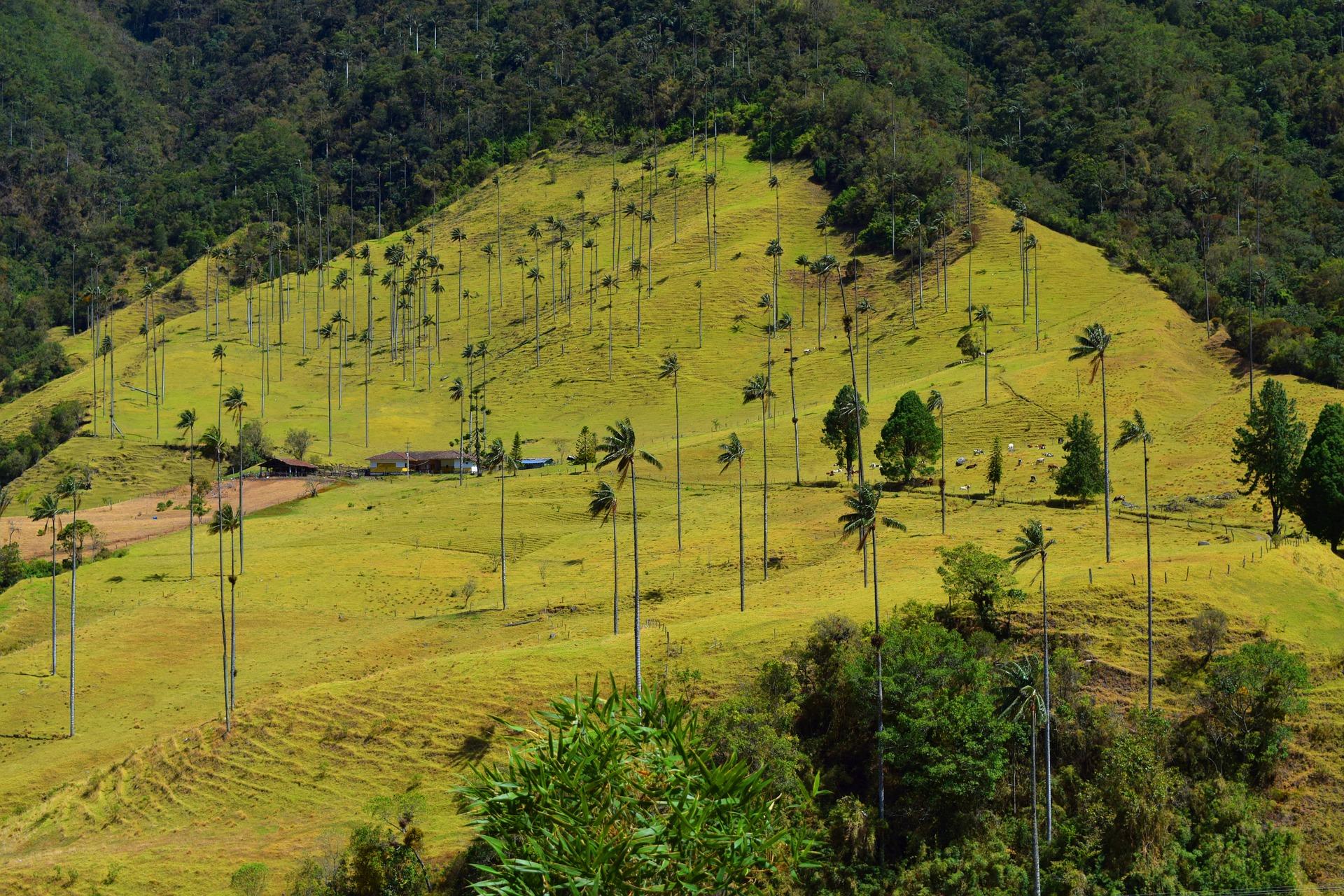 Les Palmiers De Cire Dans La Vallée De Cocora En Colombie