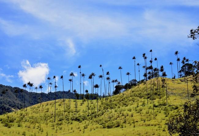 Les Palmiers De Cire De La Vallée De Cocora En Colombie