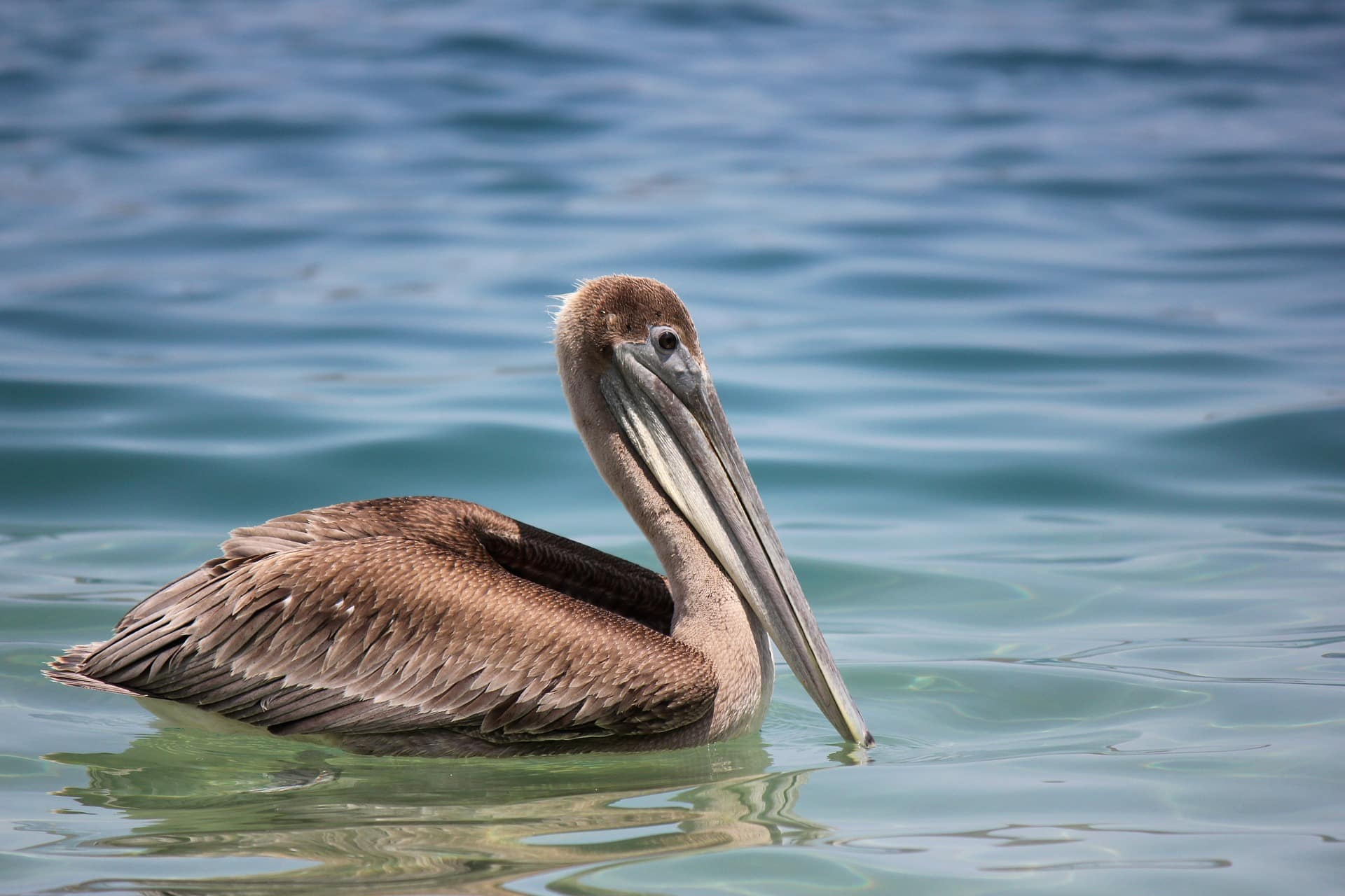 Le Pelican Faune De Tayrona