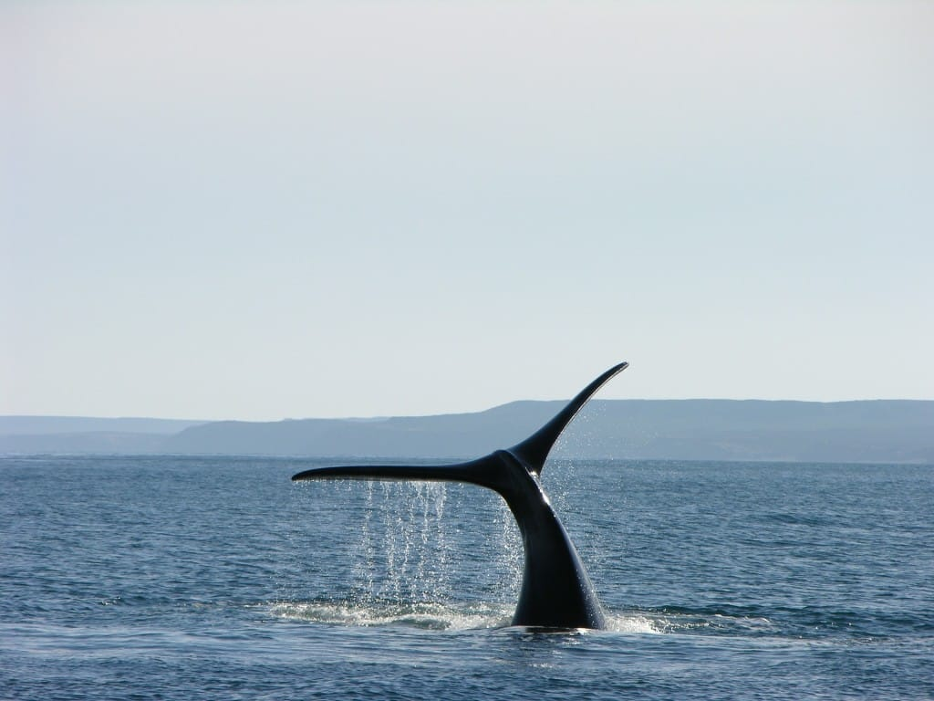 les baleines d'Argentine dans la péninsule de Valdes. Période pour les observer : juillet à décembre