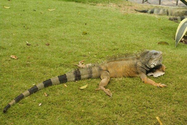 Les iguanes du Parc Seminario  à Guayaquil // Photo : Espaces Andins