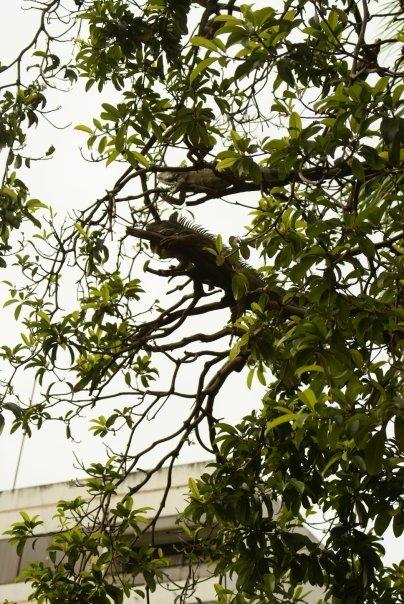 Les iguanes dans les arbres  à Guayaquil // Photo : Espaces Andins