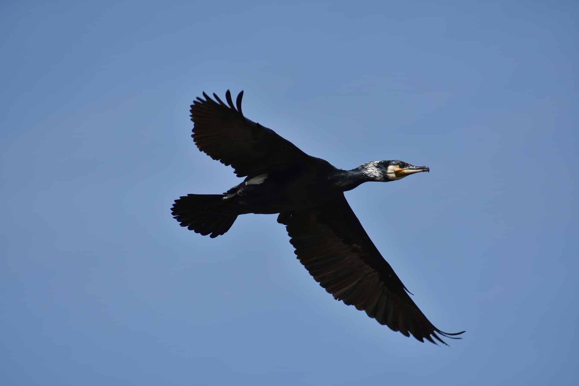 Le cormoran, Patagonie