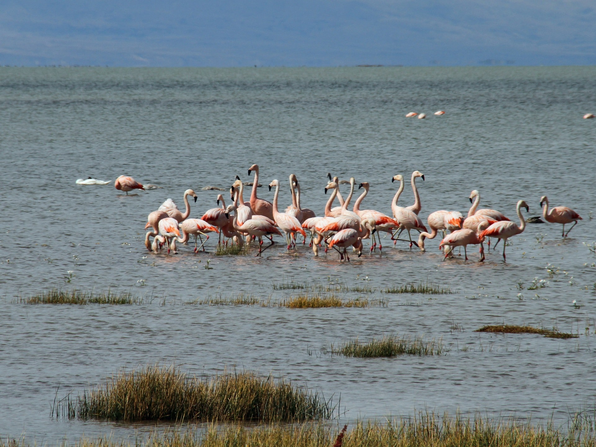 Flamants roses de Patagonie