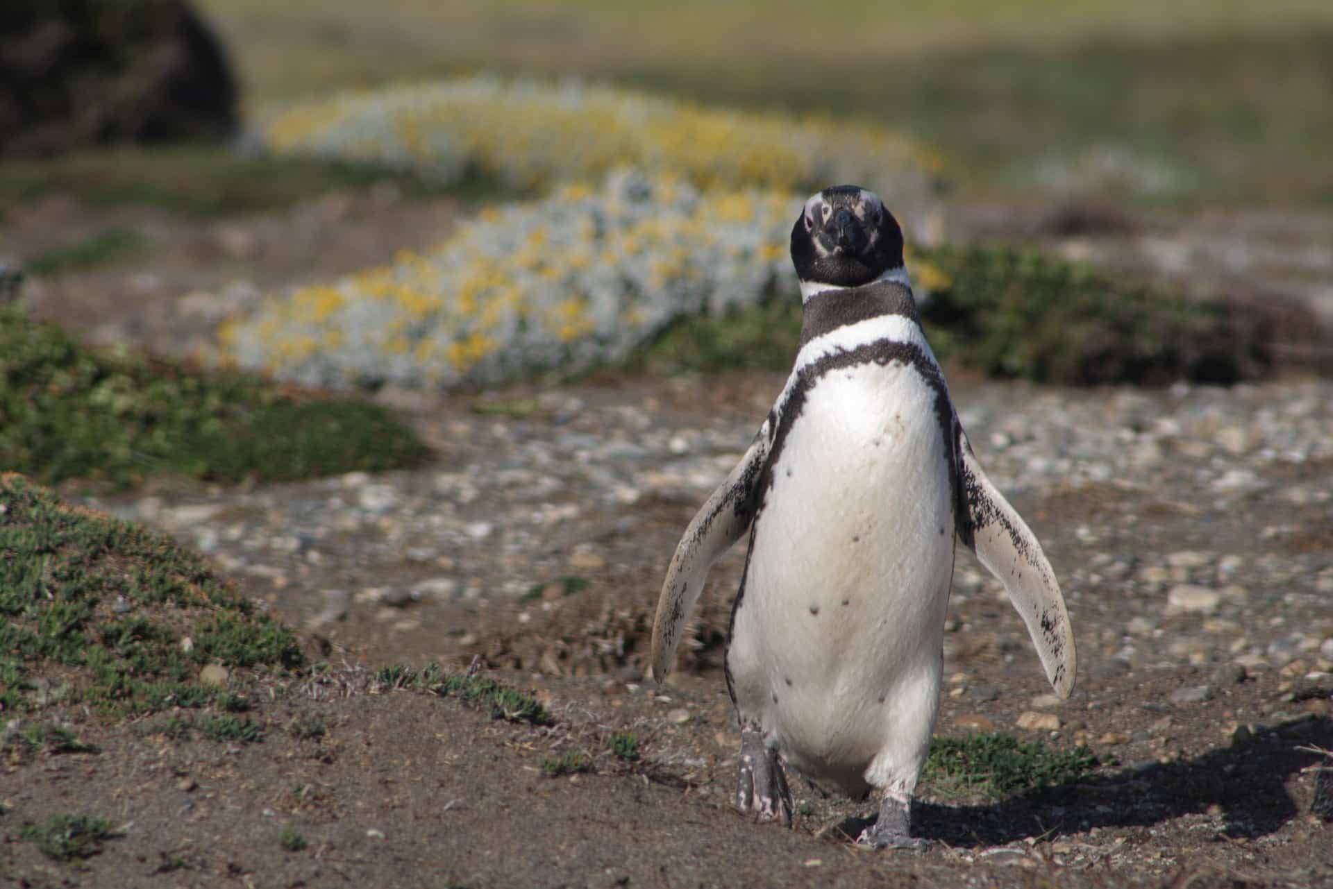 Les manchots de Magellan en Patagonie