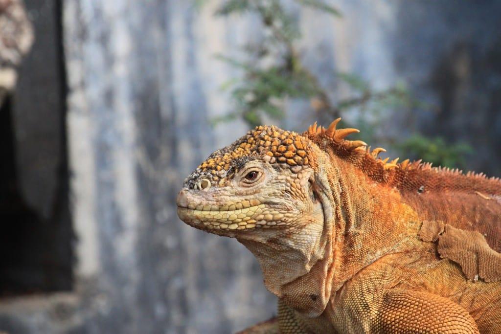 Iguane des Galapagos, Equateur