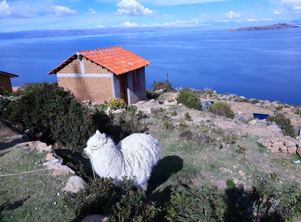Alpaca, isla del sol, Bolivie, Lac Titicaca Photo : Espaces Andins