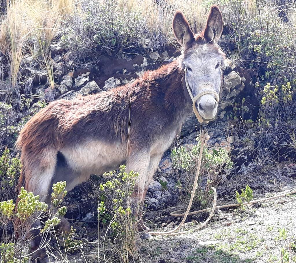 un âne sur la Isla del sol, Lac Titicaca, Bolivie Photo : Espaces Andins