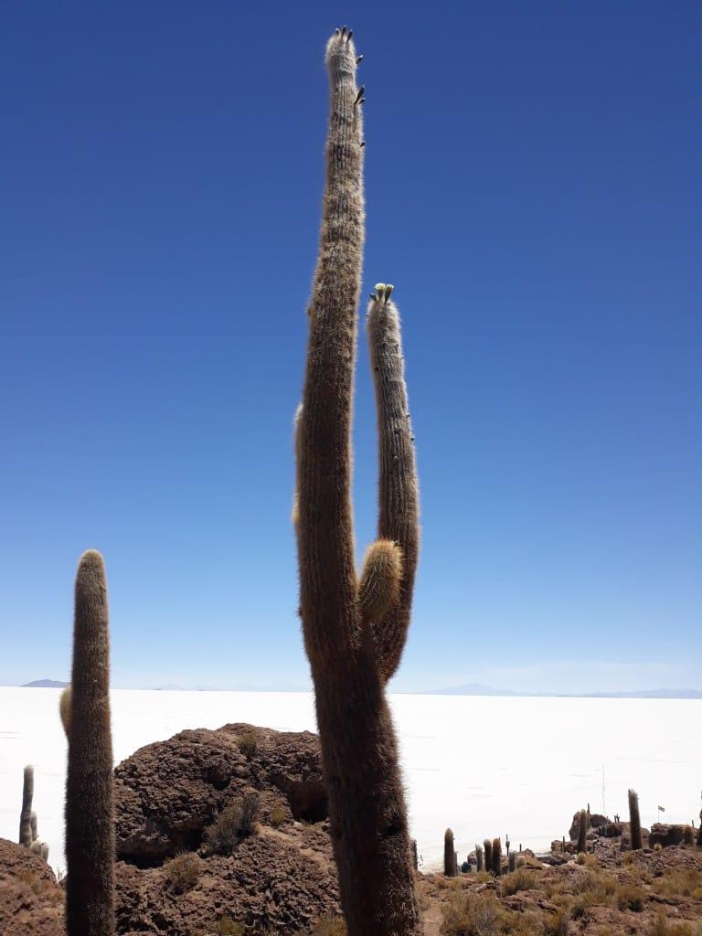 Cactus en fleurs au Salar d'Uyuni, Bolivie Photo : Espaces Andins