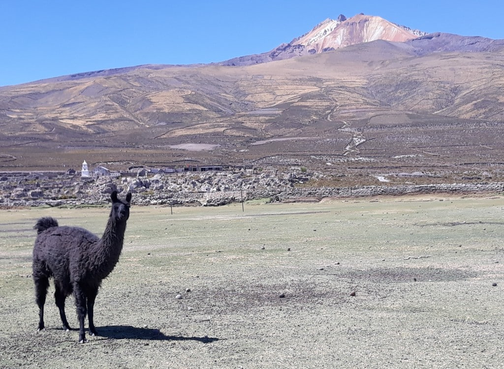 Le lama devant le volcan Thunupa, Bolivie Photo : Espaces Andins