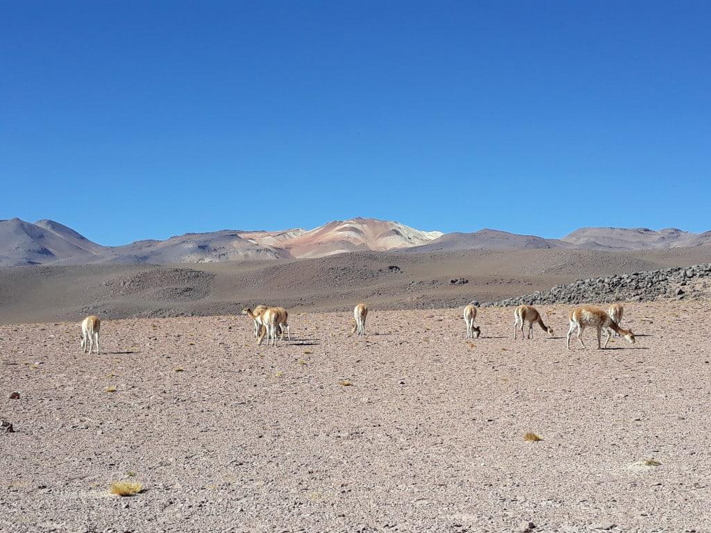 Les vigognes en Bolivie Photo : Espaces Andins