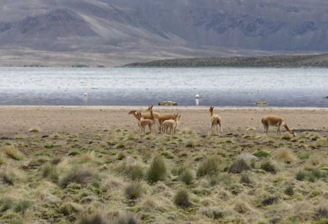 Altiplano Chilien Et Animaux
