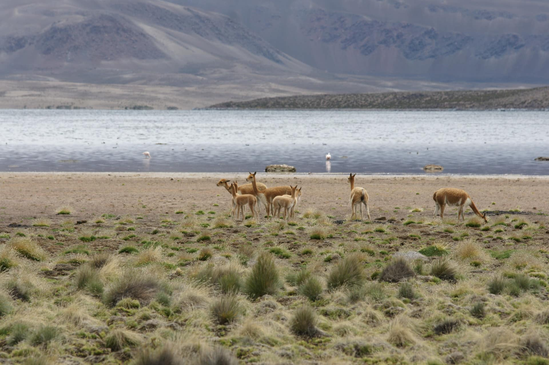 Altiplano Chilien Et Animaux