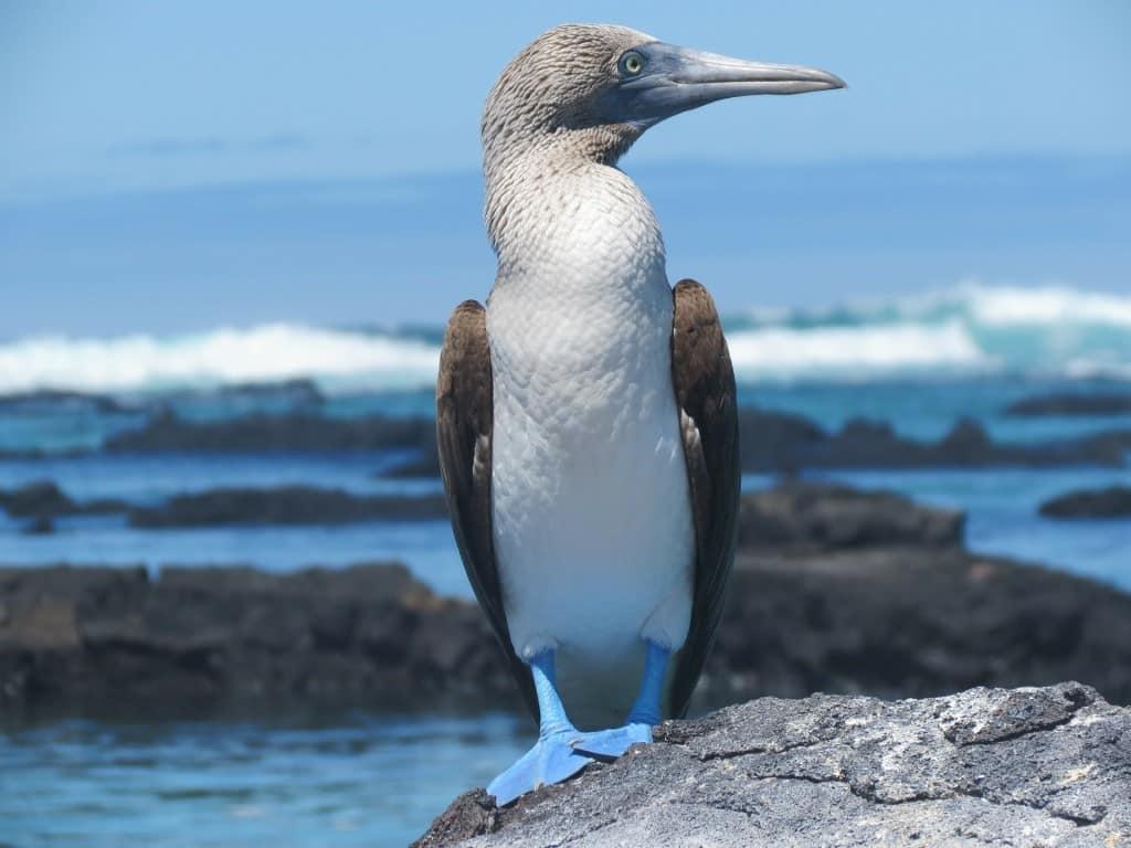 Fous à pattes bleues des Iles Galapagos