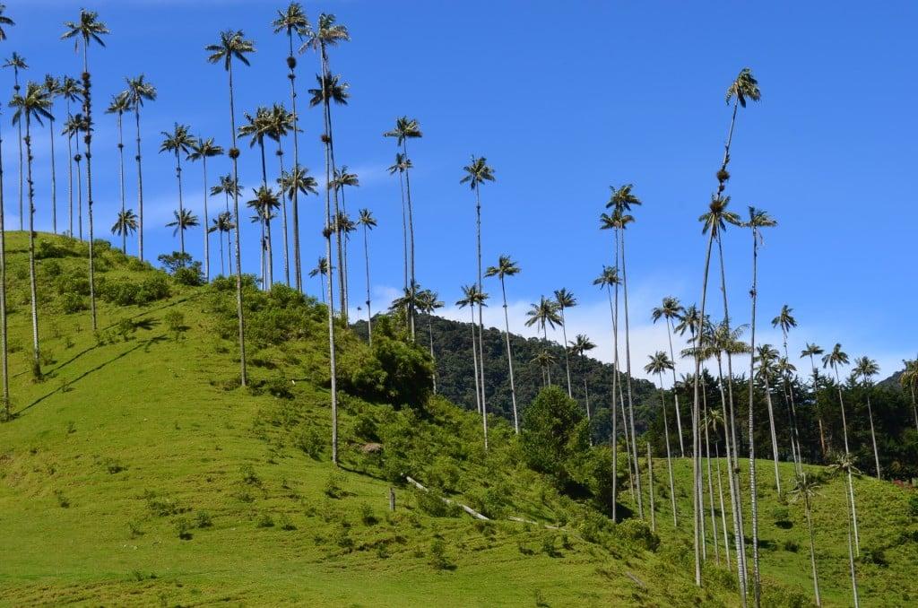 palmier de cire