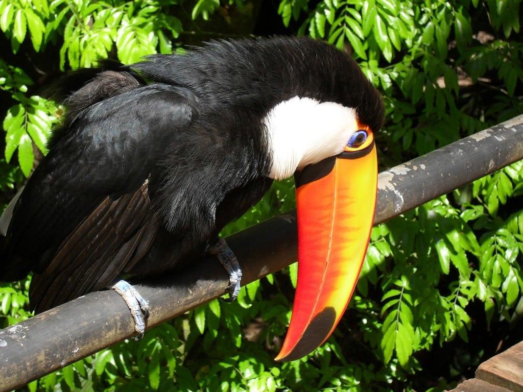 Le toucan des chutes d'Iguazu en Argentine