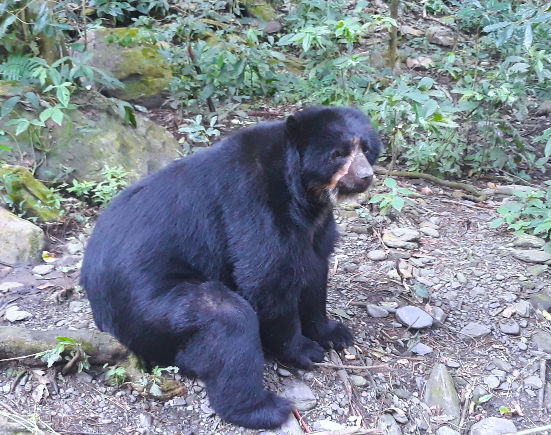 L'ours à Lunettes Dans Le Refuge Senda Verde, Bolivie