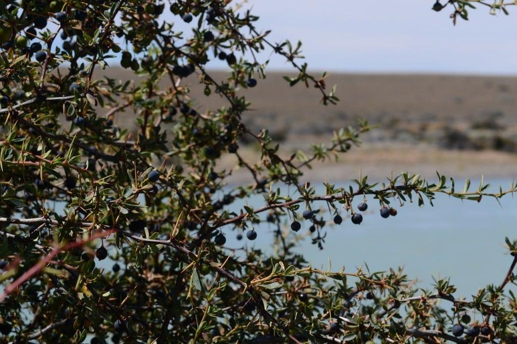 La baie de Calafate fruit violet que l'on trouve en Patagonie