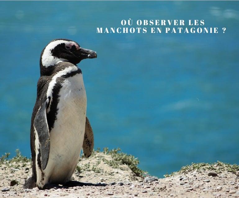 Les Manchots De Patagonie