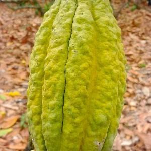 Cacao équateur