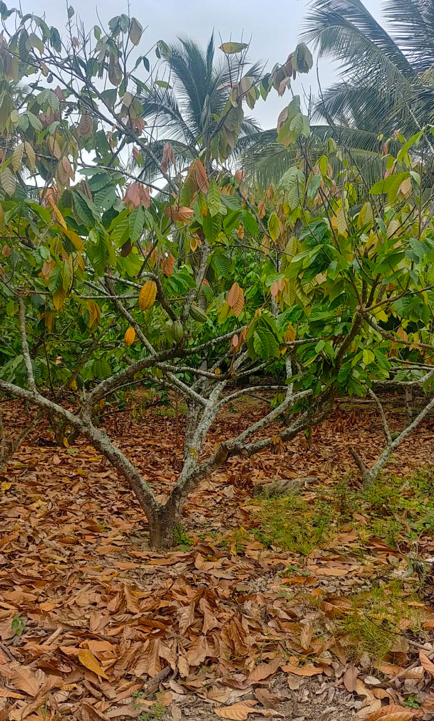 Culture De Cacao En Equateur