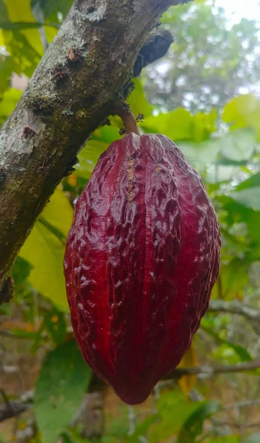 Cacao Equateur