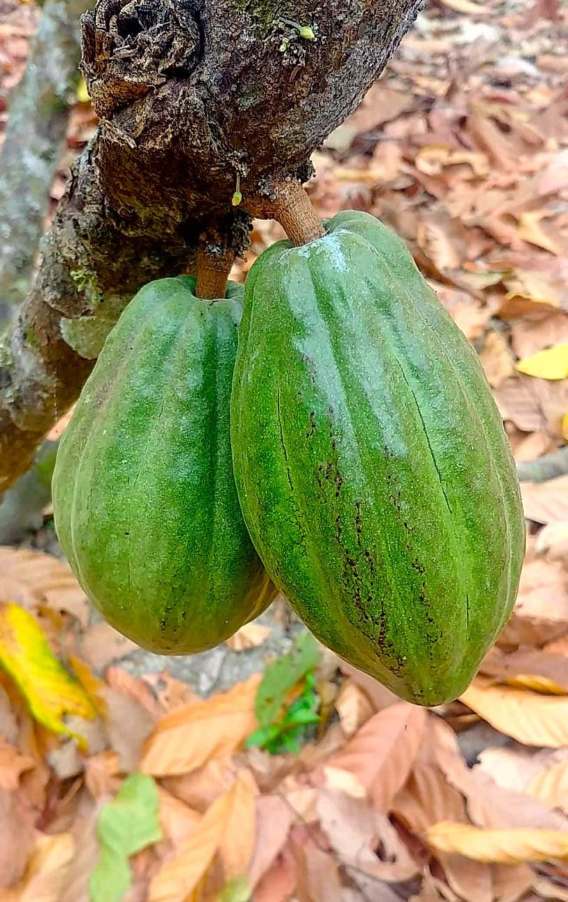 Cacao Equateur Cote Pacifique