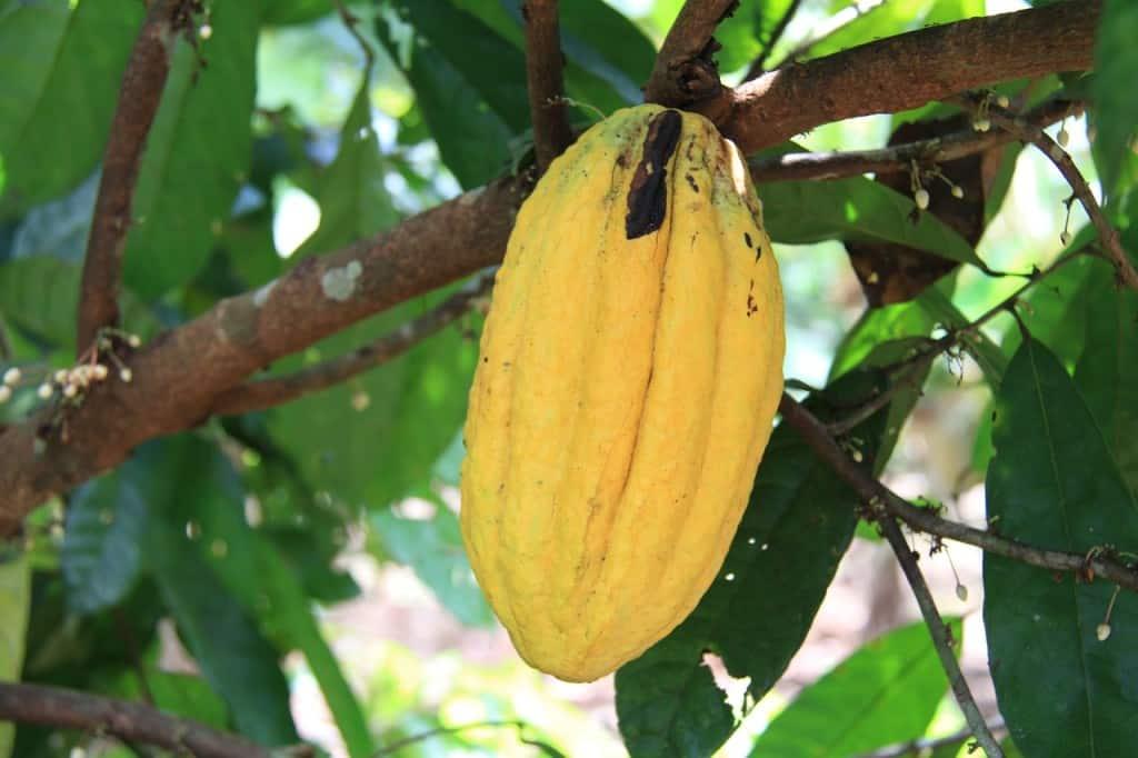 fève cacao voyage équateur