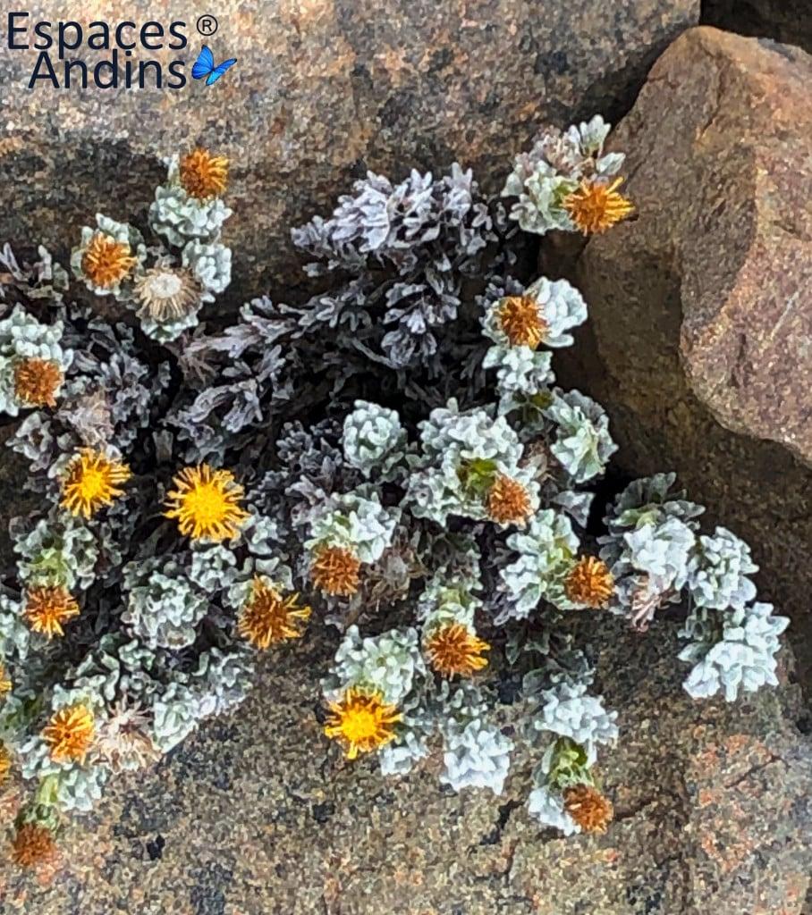 Les fleurs lors du trekking de los Dientes en Terre de Feu chilienne  Photo : Guy F. pour Espaces andins